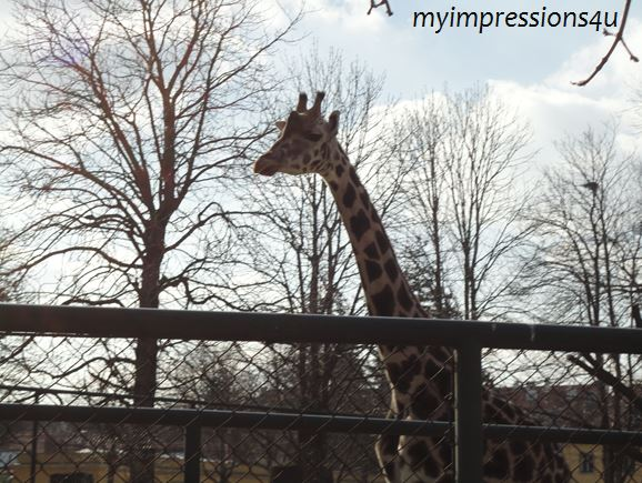 Tiergarten - Giraffe